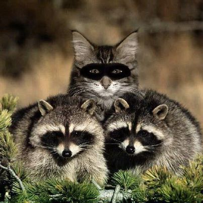 lightworkers racoons