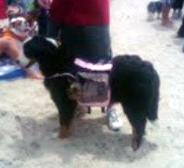 big dog little dog custom
